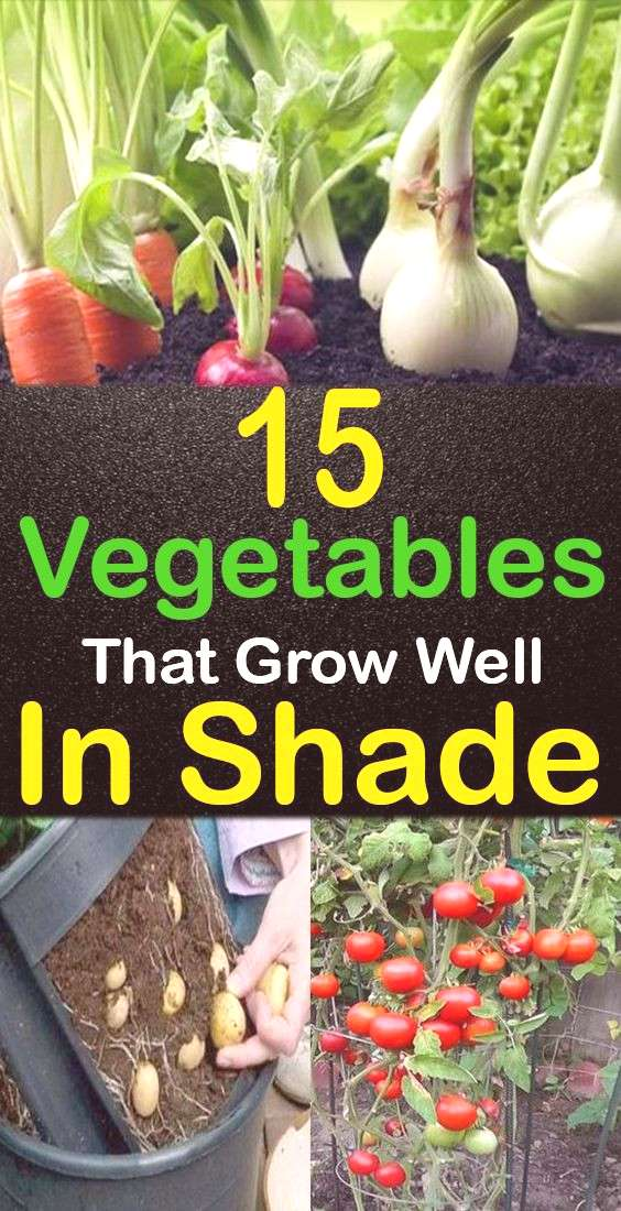 15+ Fantastic Vegetables that Grow in Shade!  Just because a plant grows outside doesn't mean it