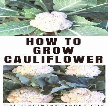 Learn how to grow cauliflower from seeds or starts.
