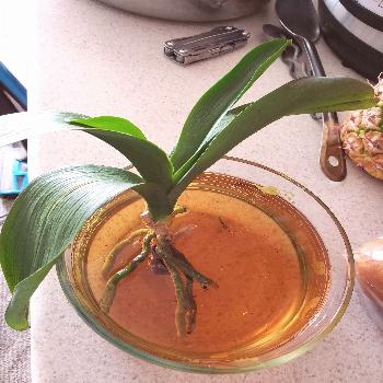 """""""Miracle"""" is the perfect term associated with regards to how to revive an orchid. It's nearly"""