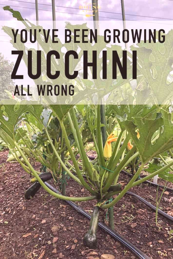 As it turns out ... you've probably been growing your zucchini all wrong. To grow healthier, more p