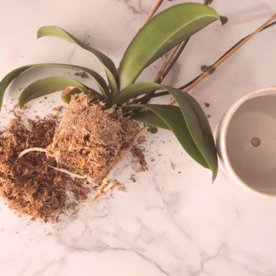 How Do I Repot My Orchid? Here's What to Know Your orchid is outgrowing its tiny pot. Now what? Do
