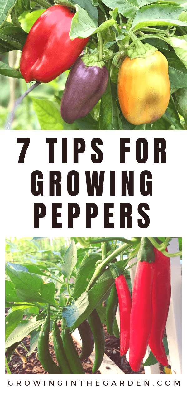 How to Grow Peppers - Growing Peppers | Growing In The Garden %