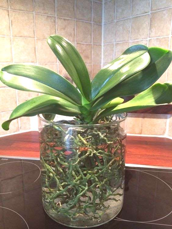 Orchids in water culture Orchids in water, Orchid plants, Orchids, Orchids garden, Growing orchids,