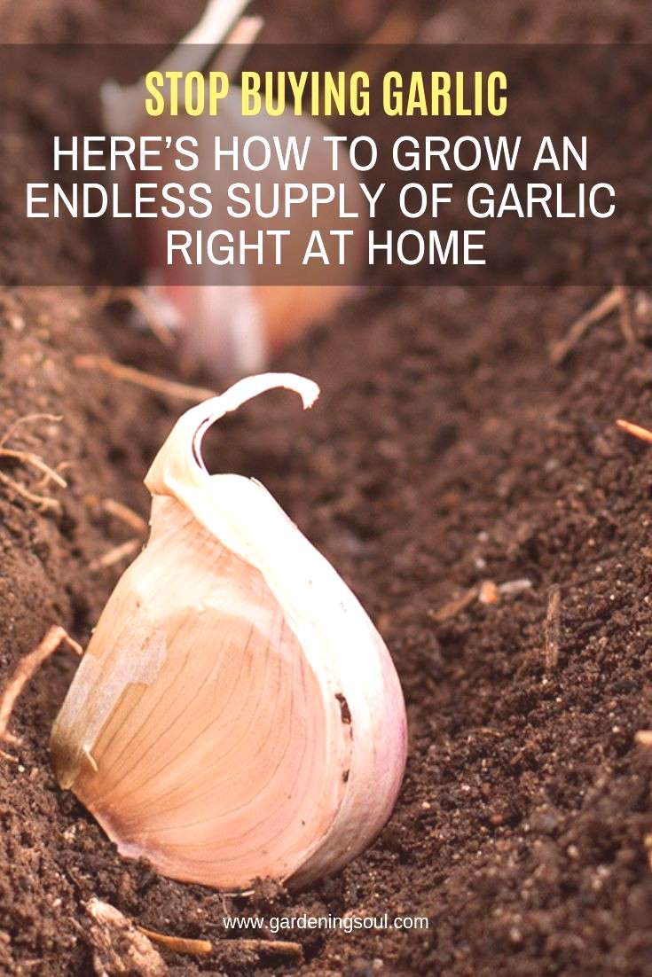 Stop Buying Garlic. Here's How To Grow An Endless Supply Of Garlic Right At Home Garlic is a simp